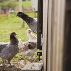 Access to pasture is a requirement for certified-organic poultry products, including eggs.