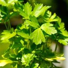 Many herbs, like Italian parsley, grow well in containers placed in full light.
