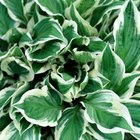Hosta leaves can be solid green or variegated.