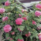 Double-form rose flowers can have anywhere from 17 to hundreds of petals, depending on the hybrid.