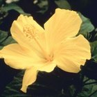 Hibiscus flowers come in a variety of colors.