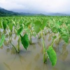 Colocasia species are wetland plants with a long history of cultivation.