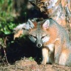 A gray fox might nibble on winterberry fruits.