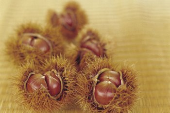 Cockleburs reproduce with spiky seed pods.