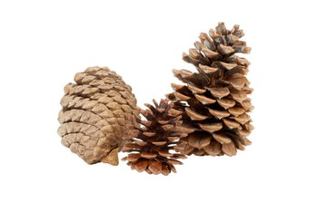 Pine cones' woody scales open up to shed naked seeds.