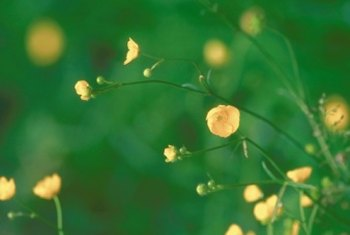 Buttercup flowers growing on healthy, green foliage.