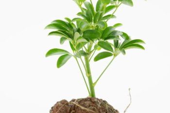 Plant rooting hormones are available in gel, liquid or powder forms.