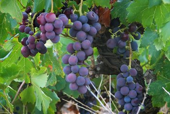 Compounds in grape seeds may help prevent cataracts.