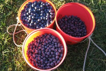Blueberries, rich in flavonoids, help to support cognitive function.