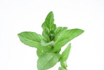 Mint is not a good source of potassium.
