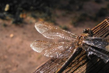 Dragonflies can clear your garden of mosquito problems.