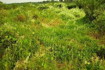 Sheep sorrel grows wild in much of the U.S.