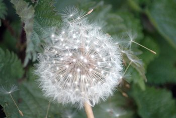 The distinctive seeds of a dandelion