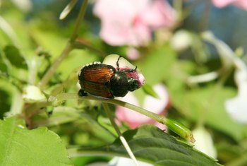 Make a Japanese beetle trap to kill them without toxic chemicals