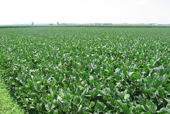 Edamame is prepared from specialty soybeans picked when they are still green.