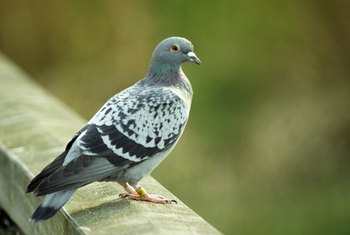 Pigeons are common nusiance birds that can be controlled using a few household items.