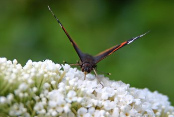 Proper pruning of a dwarf butterfly bushes will enhance the shape and increase blooms.