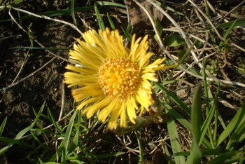 Dandelion root may have anti-cancer properties.