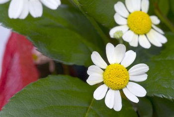 Chamomile may help manage symptoms of irritable bowel syndrome.