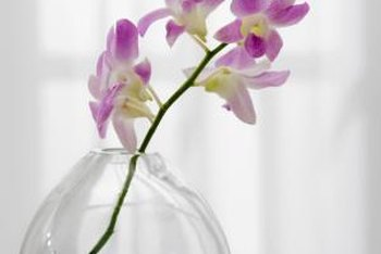 Cut orchid spikes remain fresh four to 30 days, depending on the variety.