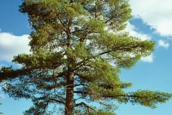 Some pine trees have thin branches instead of thick nests of needles.