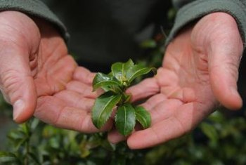 The tea camellia's foliage contains beneficial antioxidants and stimulants.