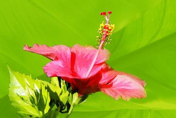 Hibiscus blooms vary in toxicity based on the species.