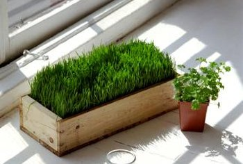 Wheatgrass is grown in raised beds