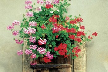 Whichever type you choose, geraniums add color to your garden.
