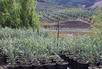 Locate scions for grafting from actively growing olive trees.