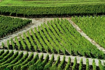 Grape vines are planted in orderly rows to facilitate care and harvesting.