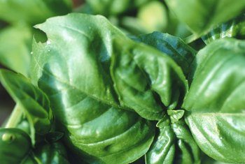 Varieties of basil offer different levels of spiciness.