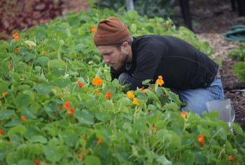 Nasturtiums planted by nonprofit City Farm thrive in a plot once home to the notorious Chicago Housing Project.