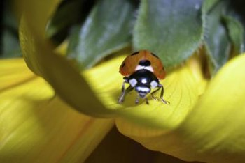 Growing specific flowers can attract beneficial insects, like ladybugs, to your garden.