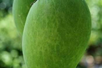 It takes about six years before a new mango tree fruits.