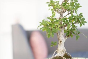 The unusual root-over-rock bonsai style suits the succulent jade plant.