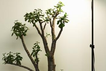 A jade plant can be trained as a bonsai.