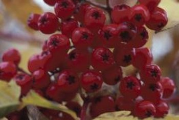 Decorative berries hold interest in the garden when flowers have faded.