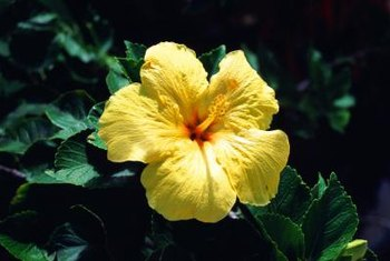 Hibiscus can reach 15 feet tall in frost-free climates.