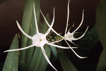 Spider lily is available in several colors, including white, red and yellow.