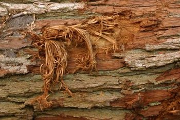 Torn bark promotes disease in trees.