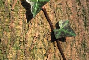 Keep ivy away from trees and shrubs where it can cause damage.