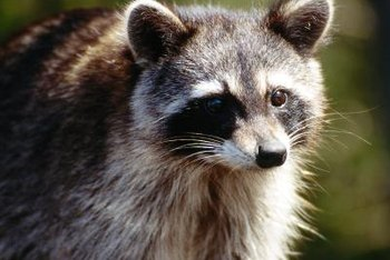 Your backyard can be a favorite for animals such as this raccoon.