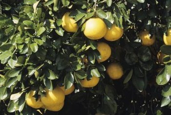 Ripeness is one factor that plays into grapefruit freezing on the tree.
