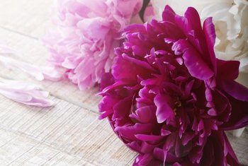 Peonies generally don't bloom the first spring after they are planted or transplanted.