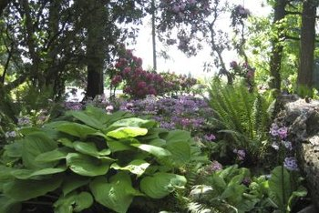 Hostas (Hosta spp., USDA zones 3 through 9) are easy-care plants for shady or partial-sun gardens.