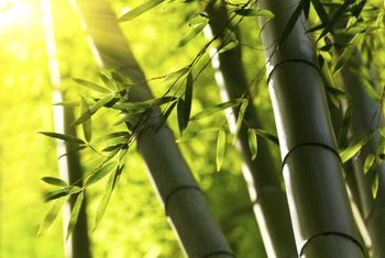 Less aggressive clumping bamboo stands can eventually outgrow their welcome.