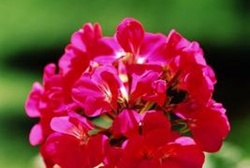 Geraniums root easily from cuttings.