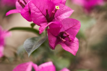 Bougainvillea is a genus of 14 species in the family Nyctaginaceae.