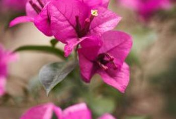 Bougainvillea is a tropical plant that thrives in frost-free climates.